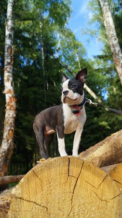 funny boston terrier: boston terrier Stock Photo