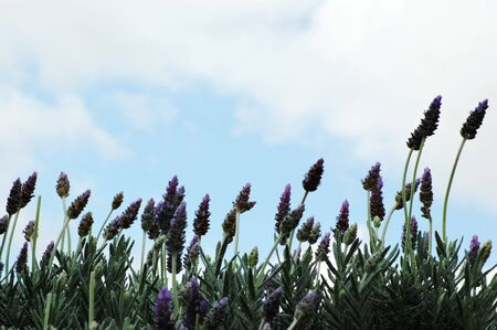 lavender field Stock Photo - 1798956