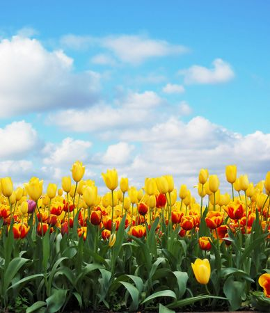 tulips in a field against cloudy sky photo
