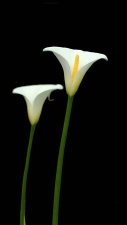 lilly:   two white calla lilies against black background