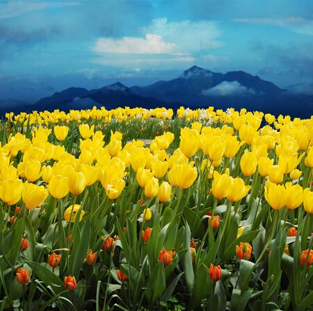 exuberance:    tulips in a field with mountains in the background                                  Stock Photo