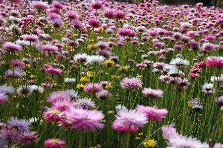 봄 시간에 서부 호주에서 핑크 야생화