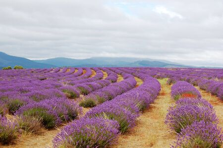 rows of lavenders in a field on a cloudy day