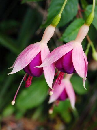 fuchsias: a close up of fuscia flowers in a garden