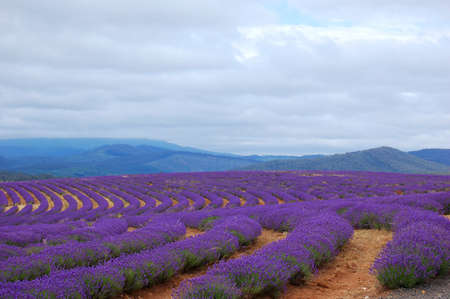 rows of lavenders in a field with mountains in the background Foto de archivo