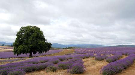 single tree in a lavender field Stock Photo - 2649934