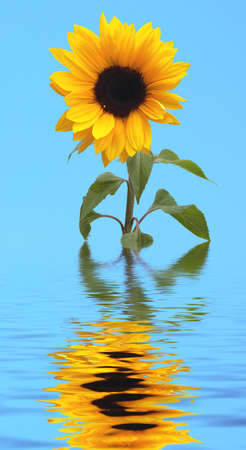 a sunfower with its reflection in water photo