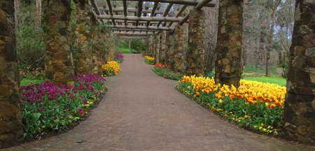 tulips along  a walkway in a garden