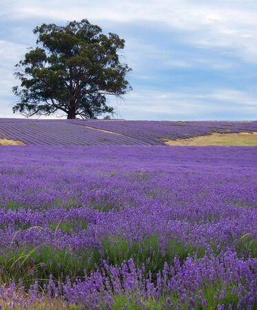single tree in a lavender field