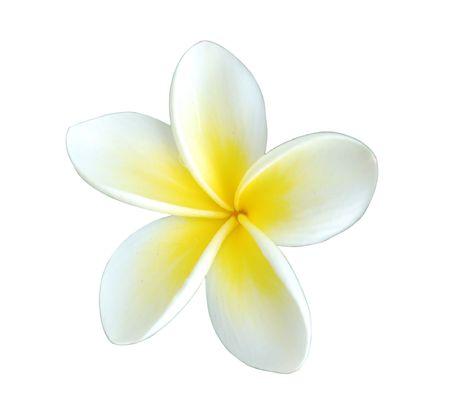 plumeria on a white background:  single beautiful frangipani (plumeria) flower, isolated on white Stock Photo