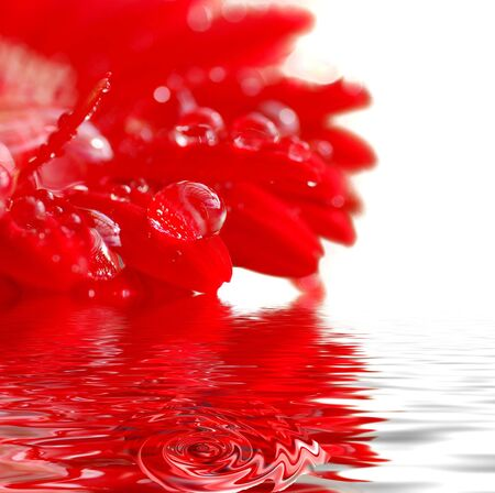 water drops on the petals of a red gerbera                                    photo