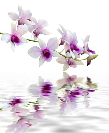 A purple orchid set against a plain background with reflection in water Stock Photo