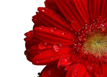 rain drops on the petals of a gerber daisy photo