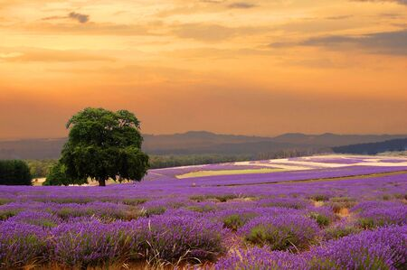 a lavender field at sunset                                   Stock Photo