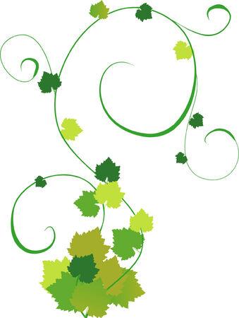 an illustration of grapevine Illustration