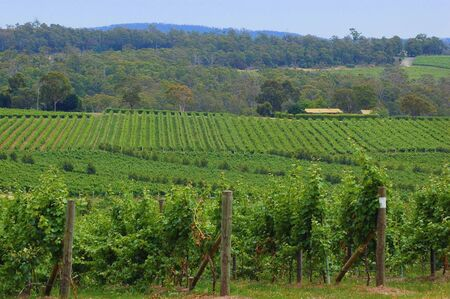 lush green vines in a vineyard Stock Photo - 3762565