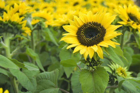 sunflowers in a field- selective focus Stock Photo