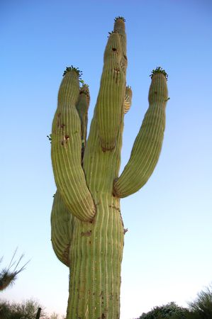 saguaro cactus photo