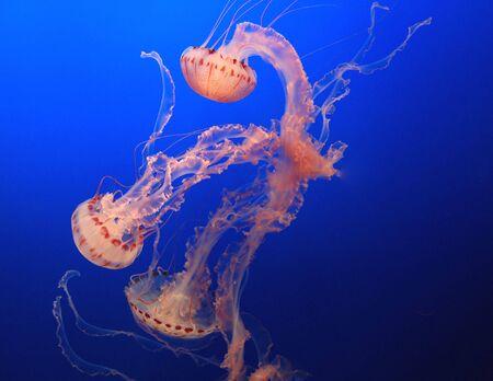 jellyfish  photo