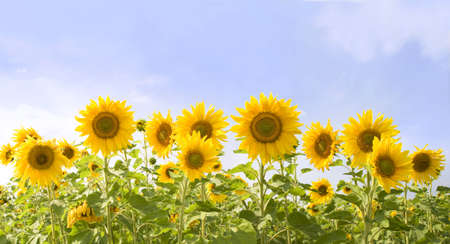 Image of field of sunflowers on the background of sky Stock Photo - 4750011