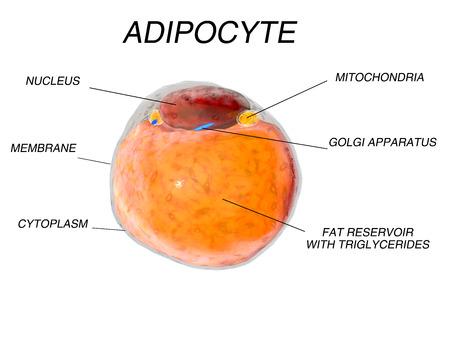 Vetcellen vetweefsel. adipocyten. 3d render