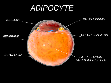 adipose tissue: Fat Cells from adipose tissue. adipocytes. 3d render Stock Photo