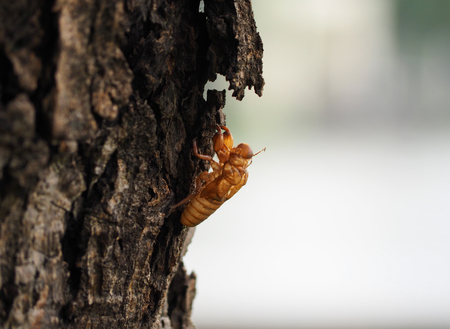cigarra: Shell of insect on tree