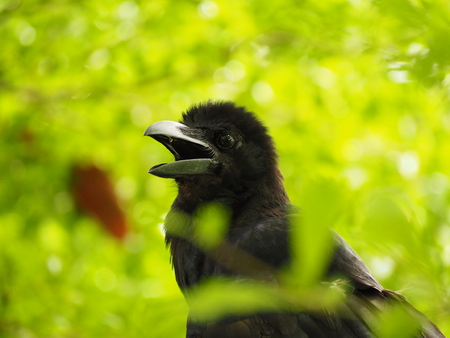 corvus: A crow early in the morning. Snatch and steal food Stock Photo