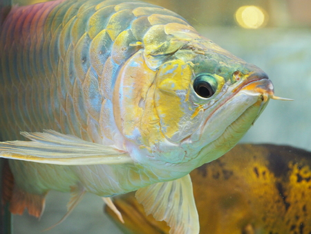 Arowana fish for fortune acts Stock Photo