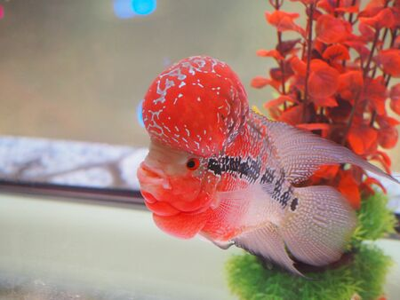 Cichlid Cultivation for Beauty and Breeding Stock Photo