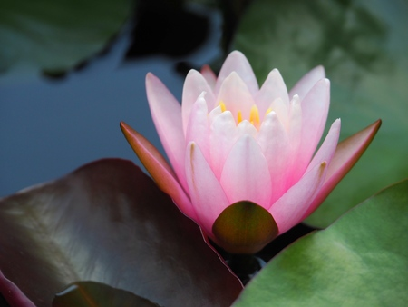 lotus flower or water lily pink with green leaves. Beautifully blooming in the spa pool to decorate. It is the flower of the month. July is also related to art and religious beliefs. Stock Photo