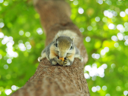 Front face of a squirrel on a tree eating beans. It's small and cute, nimble and smart. Stock Photo