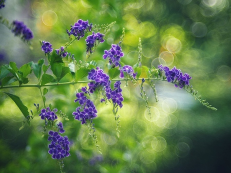 Golden Dewdrop, Crepping Sky Flower, Pigeon Berry. By Thai people called candle drops. It is a purple flower. Flowering is a beautiful bouquet and is compatible with violet tone in 2018.