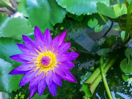 Purple lotus Stock Photo