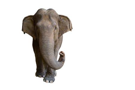Elefante aislado sobre fondo blanco. Foto de archivo