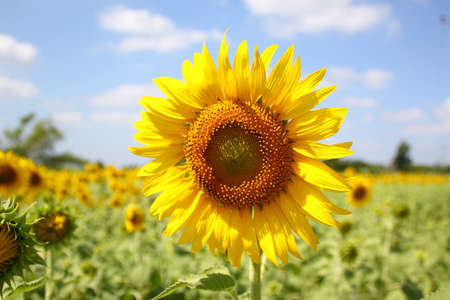 plant seed: Sunflower