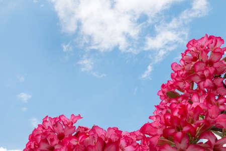 adenium: Pink flower  Impala Lily Adenium
