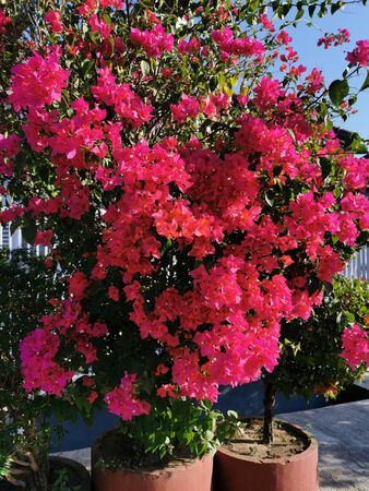 Beautiful and colorful bougainvillea flowers. Bright pink magenta bougainvillea flowers as a floral background. Close up view Bougainvillea tree with flowers Stockfoto