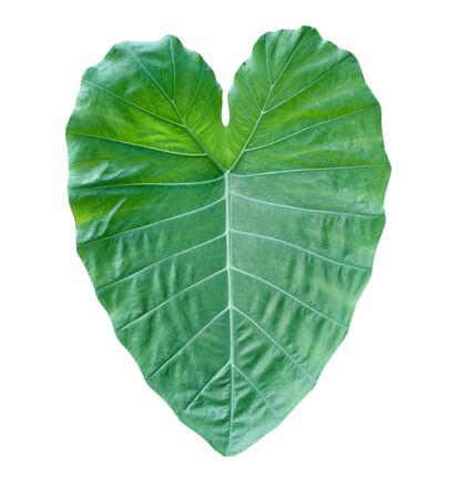 Fresh green taro leaf isolated on white background without shadow Stock fotó