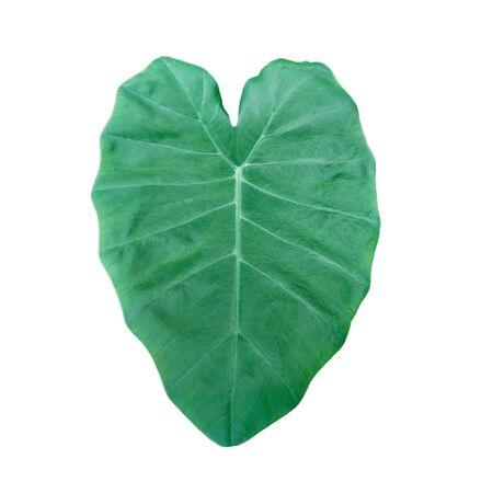 image of Elephant ear leaf isolated on white background without shadow