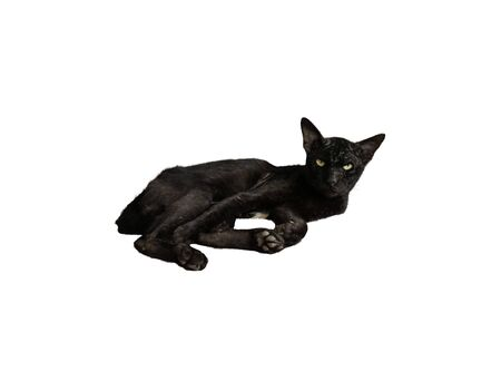 A black cat lying and staring with a sharp gaze isolated on white background. A black cat glared with yellow eyes looking at camera Stock Photo