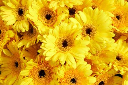 Background of yellow gerberas, horizontal 版權商用圖片