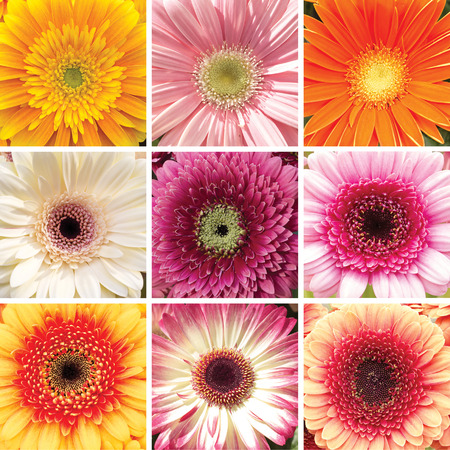 osteospermum: Collage of the nine different Gerber