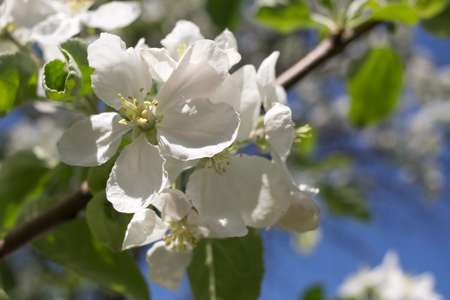 Apple tree blossoms and blue sky in background. Stock Photo
