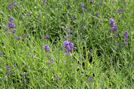 Lavender flower. Natural look of Lavender flowers Lavandula Standard-Bild