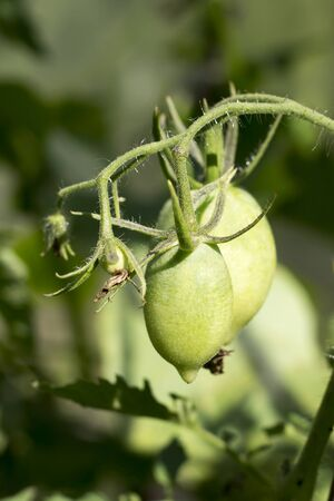 Green tomatoes grow on a branch
