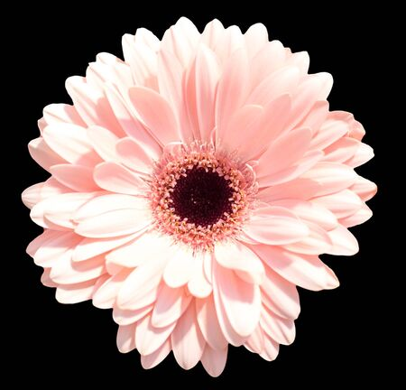 single pink  gerbera isolated on black  background