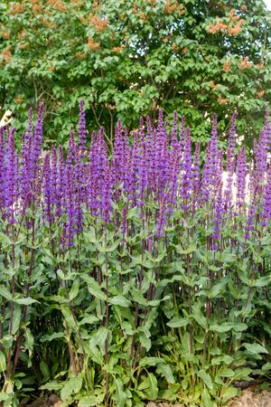 Lilac sage outdoors on a summer day. Plant on a flowerbed in full growth. Stock Photo