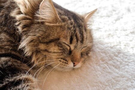 Gray very fluffy domestic cat is looking at the camera. Siberian cat breed