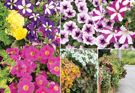 Collage of petunias. Use of petunias in urban gardening, landscape design.